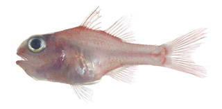 To NMNH Extant Collection (Apogon coccineus USNM 376670 photograph lateral view)