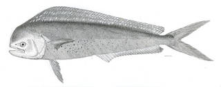 To NMNH Extant Collection (Coryphaena hippurus P03638 illustration)