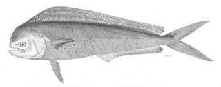 To NMNH Extant Collection (Coryphaena hippurus P03638 illustration)