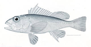 To NMNH Extant Collection (Sebastoplus longispinis P06888 illustration)