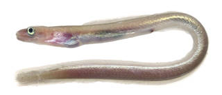 To NMNH Extant Collection (Kaupichthys brachychirus USNM 374824 photograph lateral view)