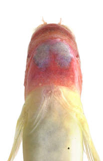 To NMNH Extant Collection (Nannosalarias nativitatus USNM 364021 photograph head ventral view)