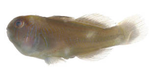 To NMNH Extant Collection (Gobiodon rivulatus USNM 377469 photograph lateral view)