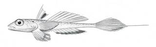 To NMNH Extant Collection (Callionymus agassizi P02494 illustration)