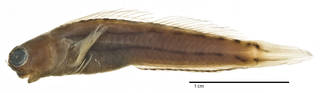 To NMNH Extant Collection (Ecsenius (Ecsenius) trilineatus USNM 205705 holotype photograph lateral view)