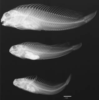 To NMNH Extant Collection (Isesthes gilberti USNM 031155 type radiograph lateral view)
