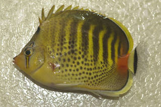 To NMNH Extant Collection (Chaetodon punctatofasciatus USNM 374328 photograph lateral view)