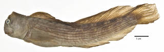 To NMNH Extant Collection (Istiblennius pox USNM 296480 holotype photograph lateral view)