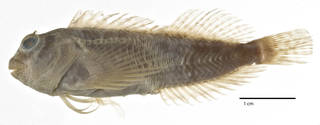 To NMNH Extant Collection (Hypleurochilus springeri USNM 231716 holotype photograph lateral view)