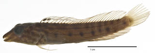 To NMNH Extant Collection (Omox lupus USNM 223710 holotype photograph lateral view)