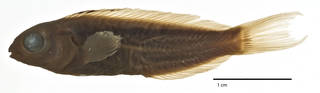 To NMNH Extant Collection (Meiacanthus (Meiacanthus) nigrolineatus USNM 200301 holotype photograph lateral view)