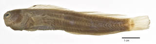 To NMNH Extant Collection (Istiblennius afilinuchalis USNM 115421 holotype photograph lateral view)