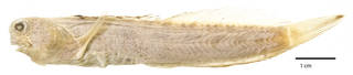 To NMNH Extant Collection (Salarias saltans USNM 050696 holotype photograph lateral view)