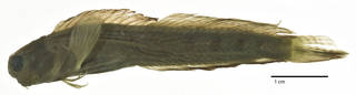 To NMNH Extant Collection (Salarias andamensis USNM 112032 syntype neotype photograph lateral view)