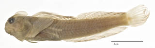 To NMNH Extant Collection (Praealticus amboinensis litteratus USNM 124116 holotype photograph lateral view)