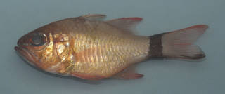 To NMNH Extant Collection (Ostorhinchus aureus USNM 391540 photograph lateral view)