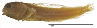 To NMNH Extant Collection (Coralliozetus cardonae USNM 049377 type photograph lateral view)