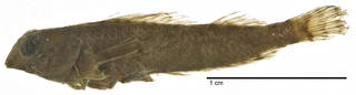 To NMNH Extant Collection (Enneapterygius pardochir USNM 51799 holotype photograph lateral view)