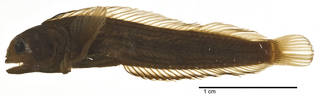 To NMNH Extant Collection (Acanthemblemaria rivasi USNM 203818 holotype photograph lateral view)