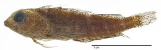 To NMNH Extant Collection (Enneapterygius pallidoserialis USNM 279812 holotype photograph lateral view)