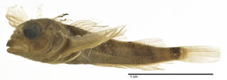 To NMNH Extant Collection (Axoclinus multicinctus USNM 321176 holotype photograph lateral view)