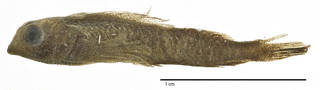 To NMNH Extant Collection (Enneapterygius tusitalae USNM 051800 holotype photograph lateral view)