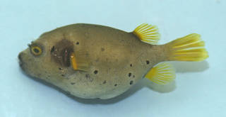 To NMNH Extant Collection (Arothron nigropunctatus USNM 374363 photograph lateral view)