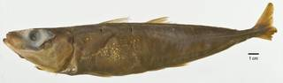 To NMNH Extant Collection (Decapterus afuerae USNM 77733 holotype photograph lateral view)