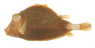 To NMNH Extant Collection (Tetrosomus concatenatus USNM 47788 photograph lateral view)