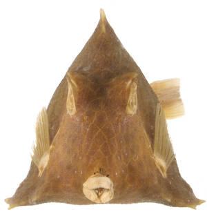 To NMNH Extant Collection (Tetrosomus concatenatus USNM 47788 photograph anterior view)