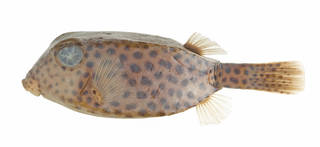 To NMNH Extant Collection (Ostracion cyanurus USNM 395772 photograph lateral view)