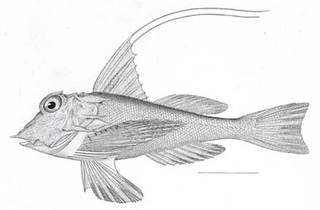 To NMNH Extant Collection (Prionotus militarius P07102 illustration)