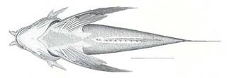 To NMNH Extant Collection (Prionotus militarius P07101 illustration)
