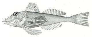To NMNH Extant Collection (Prionotus trinitatus P07110 illustration)