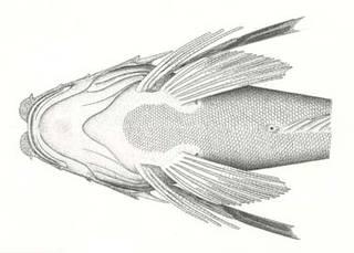 To NMNH Extant Collection (Prionotus trinitatus P07109 illustration)
