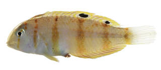 To NMNH Extant Collection (Iniistius aneitensis USNM 375008 photograph lateral view)