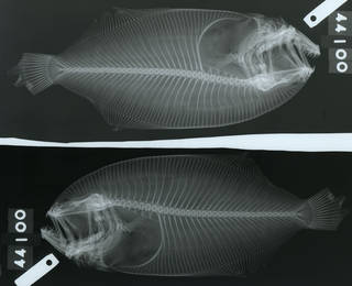 To NMNH Extant Collection (Cyclopsetta chittendeni USNM 44100 type radiograph lateral view)