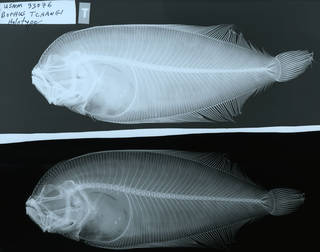 To NMNH Extant Collection (Bathus tchangi USNM 93076 holotype radiograph lateral view)
