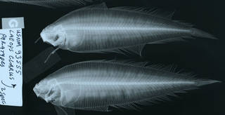 To NMNH Extant Collection (Laeops clarus USNM 93555 paratype radiograph lateral view)