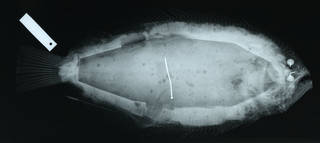 To NMNH Extant Collection (Cyclopsetta decussata USNM 123802 type radiograph lateral view)