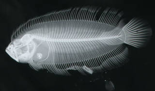 To NMNH Extant Collection (Samariscus triocellatus USNM 167246 paratype radiograph lateral view)