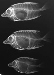 To NMNH Extant Collection (Siganus vulpinus USNM 182883 nontype radiograph lateral view)