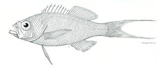 To NMNH Extant Collection (Prontogrammus aurorubens P07071 illustration)