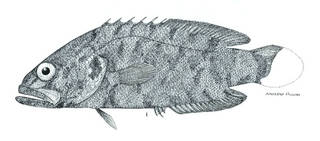 To NMNH Extant Collection (Rhegma brederi P06782 illustration)