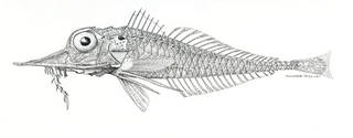 To NMNH Extant Collection (Peristedion spinager P08291 illustration)