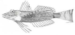 To NMNH Extant Collection (Prioniotus microlepis P07000 illustration)