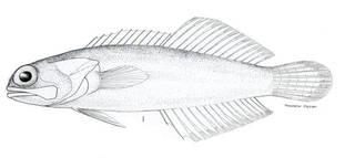 To NMNH Extant Collection (Opisthognathus whitehurstii P08949 illustration)