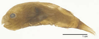 To NMNH Extant Collection (Himantolophus rostratus USNM 229964 photograph lateral view)