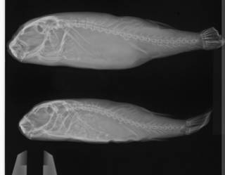 To NMNH Extant Collection (Torquigener glaber USNM 59965 radiograph lateral view)