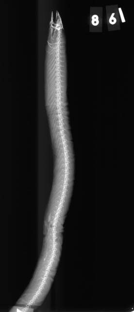 To NMNH Extant Collection (Neoconger mucronatus USNM 861 lectotype 2 of 2 radiograph lateral view)